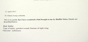 Letter from vet certifying inspection of illegally shot Hobby (Falco subbuteo), BirdLife Malta Springwatch Camp April 2013 - David Tipling