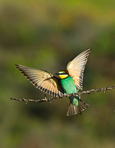 Bee-eater (Merops apiaster) with wings stretched, Spanish Steppes, Spain, May  -  David Tipling