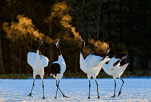Red-crowned Cranes (Grus japonensis) displaying at dawn Hokkaido, Japan, February. Did you know? Red crowned cranes mate for life. - David Tipling