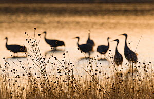 Sandhill Cranes (Grus canadensis) on roosting pond Bosque del Apache, New Mexico, USA, January - David Tipling