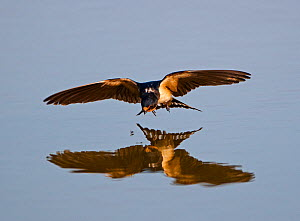 Barn Swallow (Hirundo rustica) about to pluck fly from surface of pool, Cley, Norfolk, August - David Tipling