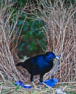 Satin Bowerbird (Ptilonorhynchus violaceus) male depositing blue pen at bower, Lamington NP, Queensland, Australia, September  -  David Tipling