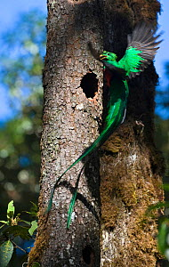 Resplendent Quetzal (Pharomachrus mocinno) male bringing wild avocado to feed young at nest Central Highlands, Costa Rica - David Tipling