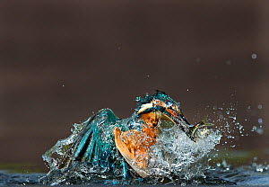 Common Kingfisher (Alcedo atthis) with minnow Worcestershire, UK August - David Tipling