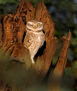 Spotted Owlet (Athene brama) with one eye closed, Bharatpur, India  -  David Tipling
