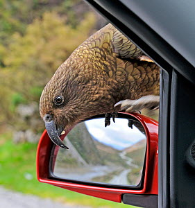 Kea (Nestor notabilis) investigating car, Arthur's Pass South Island, New Zealand  -  David Tipling