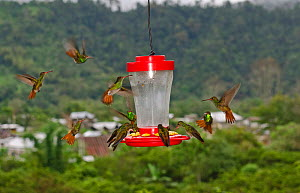 Rufous-tailed Hummingbirds (Amazilia tzacatl) swarming around feeder on balcony, Mindo, Ecuador - David Tipling