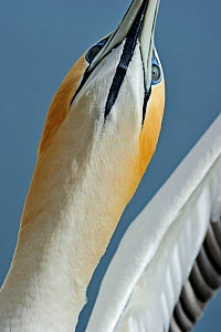 Australasian Gannet (Morus serrator) low angle portrait, Cape Kidnappers, North Island, New Zealand  -  David Tipling