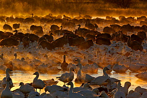 Snow Geese (Chen caerulescens) group, at dawn Bosque del Apache New Mexico, USA, winter  -  David Tipling