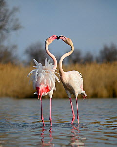 Greater Flamingos (Phoenicopterus roseus) two males sparring in spring, Camargue, France  -  David Tipling