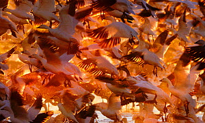 Snow Geese (Chen caerulescens) taking off at dawn Bosque del Apache, New Mexico, USA, winter - David Tipling