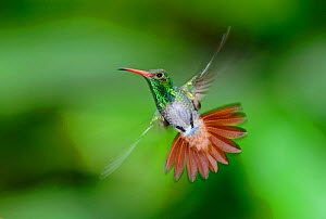 Rufous-tailed Hummingbird (Amazilia tzacatl) male, Ecuador - David Tipling