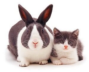 Blue Dutch rabbit with kitten with matching colouration. NOT AVAILABLE FOR BOOK USE  -  Jane Burton