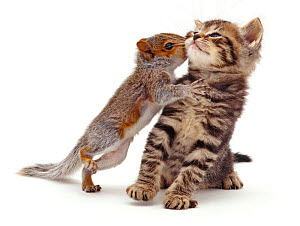 Baby Grey Squirrel (Sciurus carolinensis) 'kissing' a tabby kitten. NOT AVAILABLE FOR BOOK USE - Jane Burton