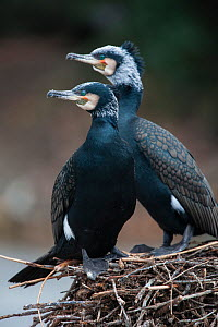 Wild Great cormorant (Phalacrocorax carbo sinensis) pair in breeding plumage on a nest in Berlin Zoological Garden, Germany, February  -  Florian Möllers