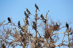 Great cormorants (Phalacrocorax carbo sinensis), adults in breeding plumage, perched on nesting trees of the colony in Niederhof, Germany, March  -  Florian Möllers
