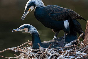 Wild Great cormorant (Phalacrocorax carbo sinensis) pair in breeding plumage, mating on a nest in Berlin Zoological Garden, Germany, February  -  Florian Möllers