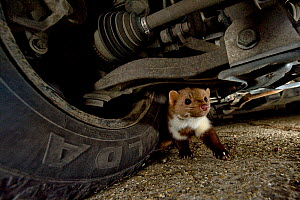 Stone marten (Martes foina) under the car in night time in Budapest, Hungary  -  Milan Radisics