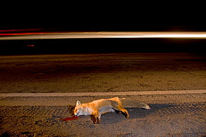 Dead fox (Vulpes vulpes) close to road with light of moving truck, Budapest, Hungary - Milan Radisics