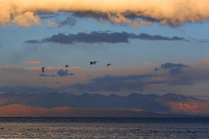 Bar headed geese (Anser indicus) in flight at sunset over the holy lake of Lake Manasarovar (4,590m), Tibet, June  -  Ben Lascelles