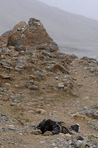 Prostrator about to perform body-length prostrations over the entire length of the circumambulation around Mount Kailash. The pilgrim bends down, kneels, prostrates full-length, makes a mark with his...  -  Ben Lascelles
