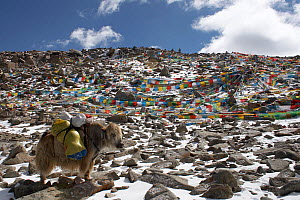 Domestic yak (Bos grunniens) carrying supplies at the Drolma La (18,000ft) highest point on the Mount Kailash Parikrama, Mount Kailash, Tibet. June 2010  -  Ben Lascelles
