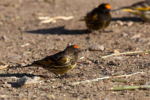 Red / Fire fronted Serin (Serinus pusillus) feeding on the ground, Hilsa Nepal / Tibet border crossing. June  -  Ben Lascelles