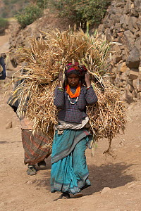 Thakuri woman, one of the Hindu ethnic groups of Humla Region, carrying wheat along the Karnali valley, near Tuling, Humla, West Nepal. June 2010  -  Ben Lascelles