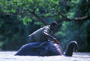 Domesticated African elephant (Loxodonta africana) being cleaned by mahout Cornac in river, Nagero, Garamba National Park, North Eastern Zaire, now the Democratic Republic of Congo. Remnants of the ol...  -  Jabruson