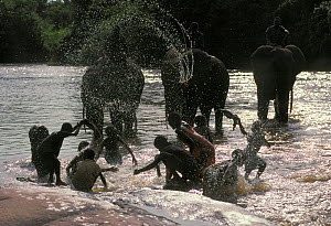 Domesticated African elephants (Loxodonta africana) being cleaned by mahout Cornac in river, alongside children doing their washing, Nagero, Garamba National Park, North Eastern Zaire, now the Democra...  -  Jabruson