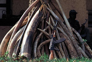 African elephant (Loxodonta africana) confiscated and recovered ivory tusks stocked and stored at Nagero, Garamba National Park H.Q, Democratic Republic of Congo (Formerly Zaire)  No release available... - Jabruson