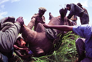 Northern White Rhinoceros (Ceratotherium simum cottoni) immobilised and being measured for fitting of radio telemetry collar, by Dr Kes Smith and staff from the Institut Zaire pour la Conservation de... - Jabruson