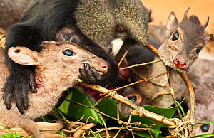 Carcass of a Putty nosed monkey (Cercopithecus nictitans nictitans) and Blue duiker (Cephalophus monticola) are posed by the hunter for the photographer during a hunter's transport break. This bushmea... - Jabruson