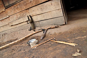 Putty nosed monkey (Cercopithecus nictitans nictitans) young female climbing village house wall in boredom, tied to a heavy old vehicle engine part is held captive in a village close to the forest. Th...  -  Jabruson