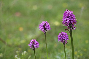 Toothed orchid (Orchis tridentata) Vercors National Park, France, June  -  Mike Read