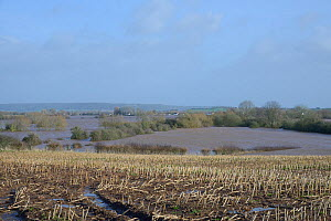 Waterlogged Maize (Zea mays) stubble field and heavily flooded Curry Moor after weeks of heavy rain, viewed from East Lyng with Curload village in the background, Somerset Levels and Moors, UK, Januar...  -  Nick Upton