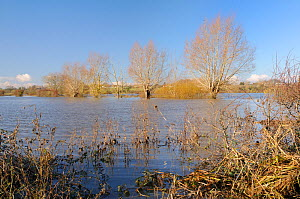 Flooded pastureland, hedgerow and line of Willow trees (Salix sp.) near Hambridge on the Somerset Levels after weeks of heavy rain, UK, December 2012.  -  Nick Upton