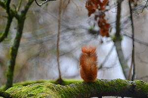 Red squirrel (Sciurus vulgaris) rear view of tail on moss covered tree, Allier, Auvergne, France, March  -  Fabrice Cahez