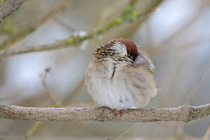 Eurasian Tree Sparrow (Passer montanus) with puffed up feathers at rest under the snow, Vosges, France, January  -  Fabrice Cahez
