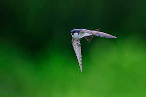 House Martin (Delichon urbicum) in flight. Jogevamaa county, Estonia, July. - Sven Zacek,Sven  Zacek