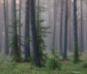 Foggy morning in wetland forest in Estonia. August 2011. - Sven  Zacek