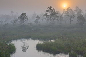 Misty sunrise over  bog, Estonia. August 2011.  -  Sven  Zacek