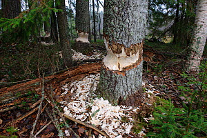 Trees that have been gnawed by Beavers (Castor fiber)  Southern Estonia, October.  -  Sven  Zacek