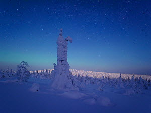 Moonrise in Riisitunturi National Park in Finland, with thick snow covering conifer trees. February 2010. - Sven Zacek