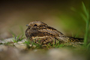 Eurasian Nightjar (Caprimulgus europaeus) on ground, Hiiumaa island, Estonia, August. - Sven Zacek