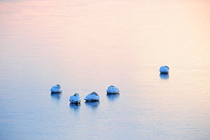 Mute Swans (Cygnus olor) resting on ice after sunset. Baltic Sea, northern Estonia, March.  -  Sven Zacek,Sven  Zacek