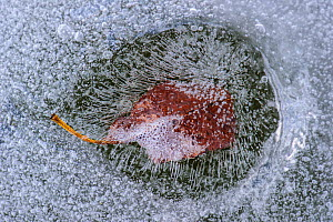 Frozen leaf in lake ice. Southern Estonia, April. - Sven  Zacek
