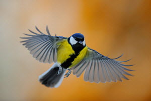 Great Tit (Parus major) in flight. Southern Estonia, December.  -  Sven Zacek,Sven  Zacek
