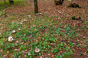 Clouded Agaric (Clitocybe nebularis) toadstools growing in partial ring, Surrey, England, November.  -  Adrian Davies