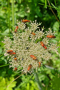 Black-Tipped Soldier Beetle (Rhagonycha fulva) group with some mating, on Cow Parsley (Anthriscus sylvestris) The Gower, Wales, July - Adrian Davies